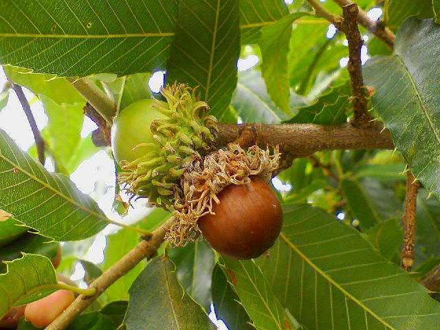 クヌギ(Quercus acutissima)  ...